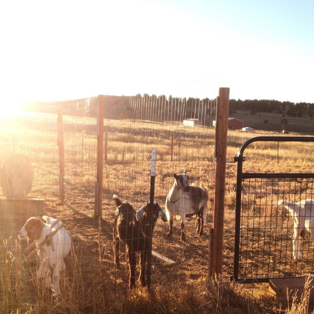 goats on homestead