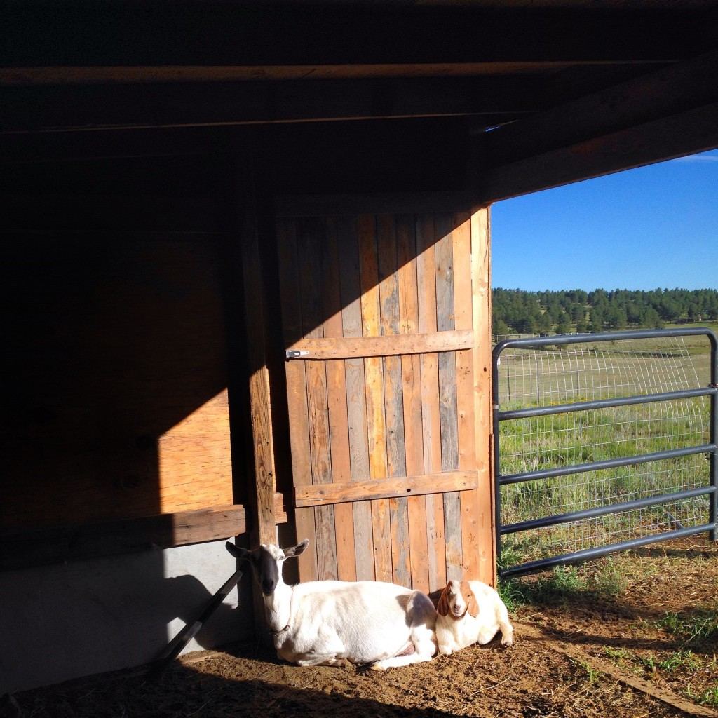 goats homestead