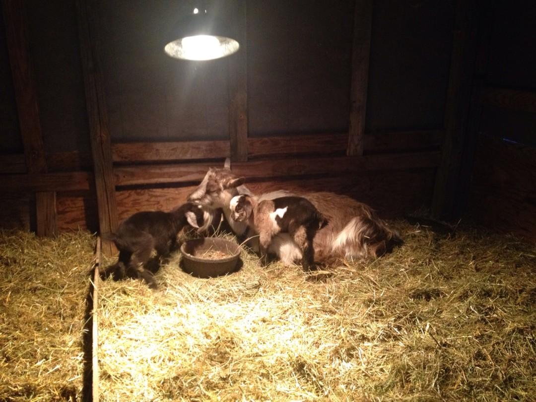 baby goats colorado
