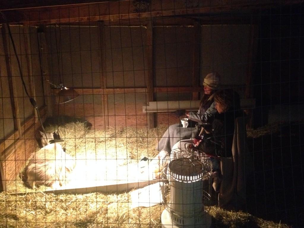 goat birth