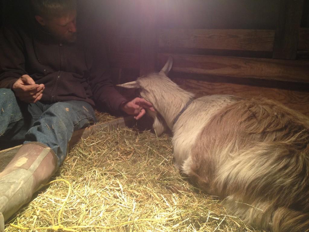 goat labor and birth